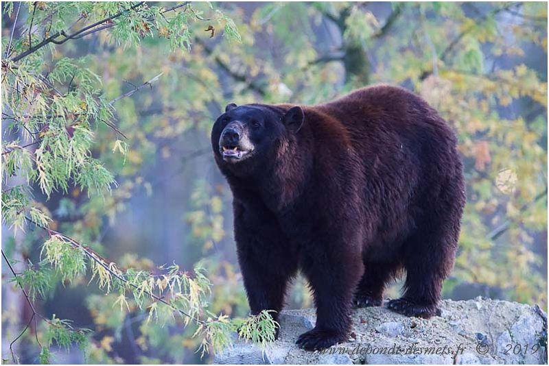 Les prédateurs du wapiti en Amérique du nord ( l'ours noir américain, l'ours brun, le puma, le loup et le coyote).