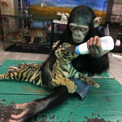 Photo du jour : singe et tigre copains comme cochons