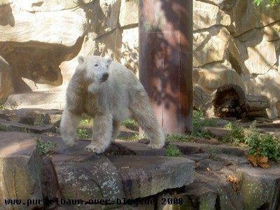Knut am 27. September 2008