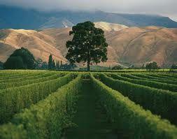La vigne dans le Marlborough