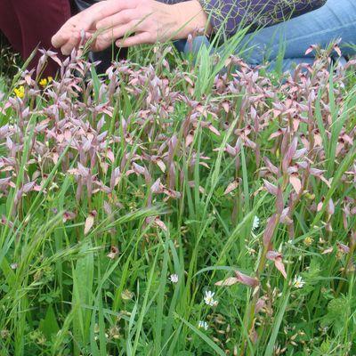 Le Site de Nazan, Recensement des Orchidées Sauvages