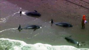 Près de 150 dauphins s'échouent sur une plage au #Japon !