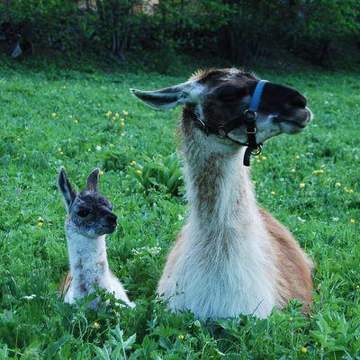 Deux nouveaux bébés lamas pour fêter l'été !!