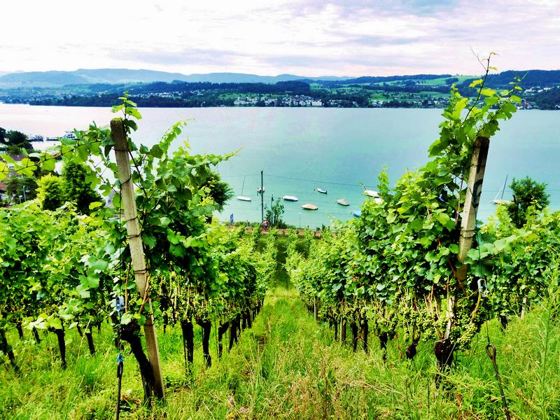 Vignes de Rauschling au bord du Lac de Zurich