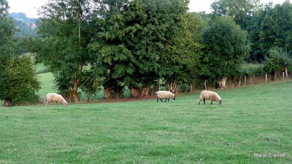 une jeune volaille bien emplumée, le clos à moutons et l'une des chèvres