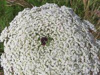 Carottes sauvages Daucus carota ssp major ou ssp maximus