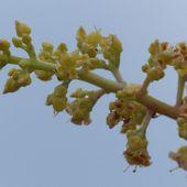 Fleur du jour (36) - Fleurs de manguier - Noy et Gilbert en Thaïlande