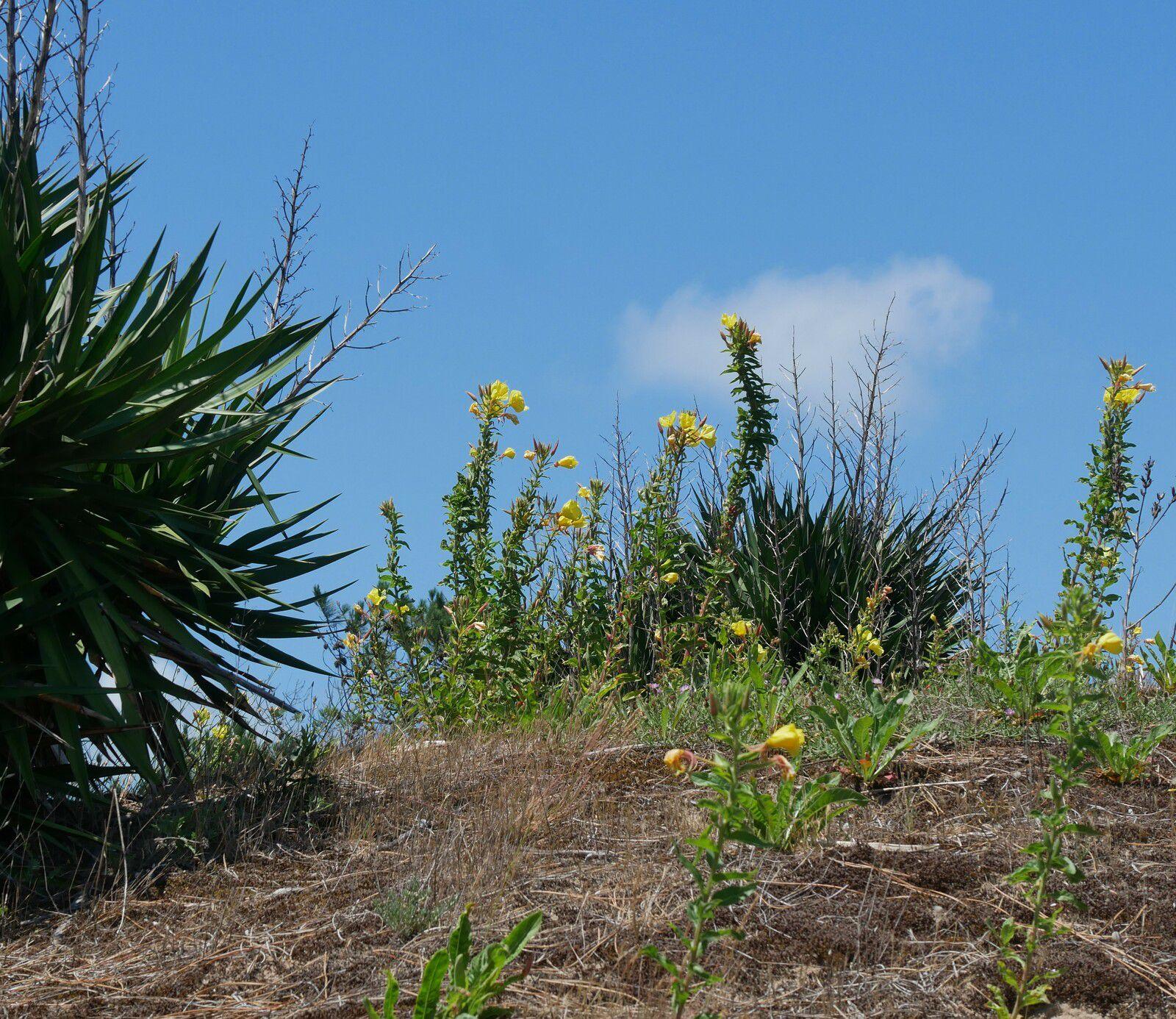 Fleurs des dunes d'Oléron. Les onagres.