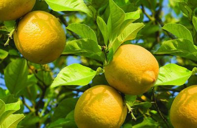 Citrus Trees To Grow At Home