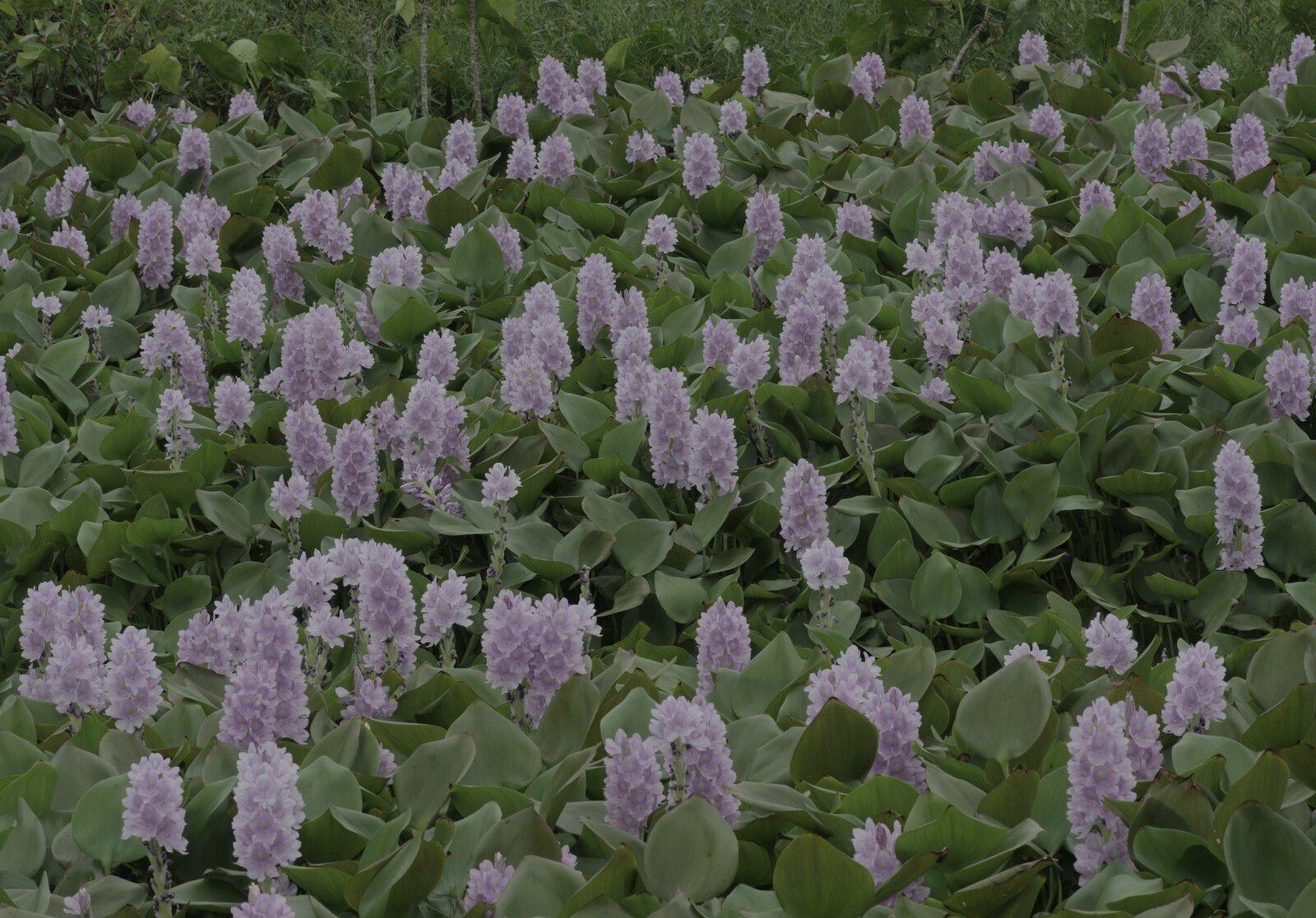 Pontederia crassipes (jacinthe d'eau)