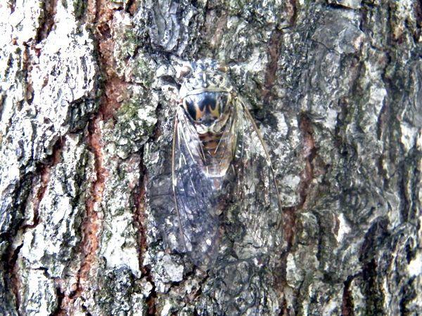 Homochromique et homotypique - La cigale grise sur le tronc d'un arbre.