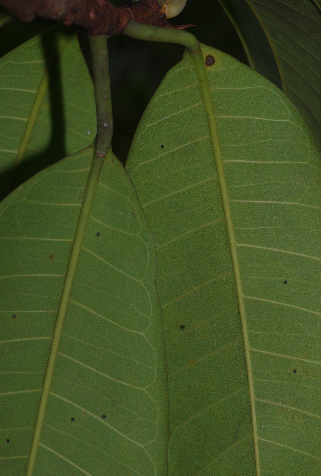 Ficus caballina (à confirmer)
