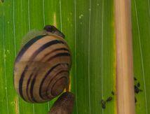 Escargot et limace sur feuille de maïs