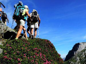 Montée dans les rhododendrons, Armérie des Alpes, Ancolie des Alpes, Adénostyle à feuilles blanches, Armérie des Alpes,  Pédiculaire à bec et en tête.