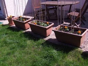 La saga de mes tomates - 1er mai 2016