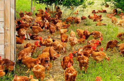 Le poulet bio, une réussite à Mandres-les-Roses !!!!