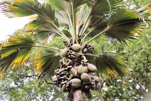 Jardin de Peradeniya  Les arbres - Kandy - Sri Lanka