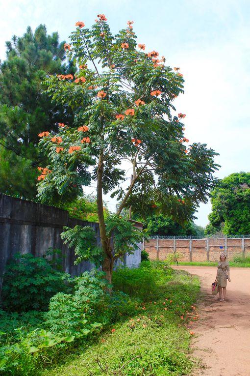 J'ai fait l'acquisition de 2 plants d'un bel arbre aux fleurs rouges-orangées.