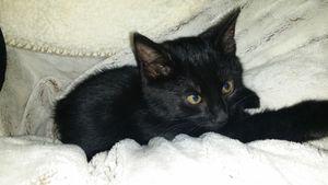 Cosmic, chaton mâle noir, à l'adoption -> adopté