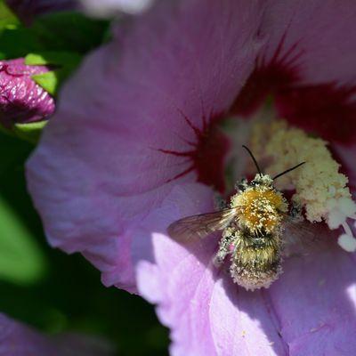 Pollinisateur ...