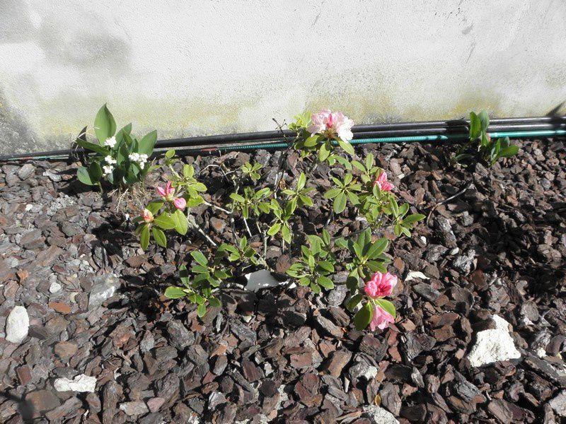 Ici vont s'ajouter au fur et à mesure les photos de notre jardin cette année