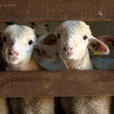 La photo du dimanche : Doux comme un agneau