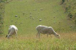 Moutons dans les prés