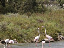 Flamants roses aux Saintes Maries de la Mer