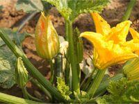 Beignets de fleur de courgette