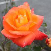 Découvrez le rosier France Libre - plaisir-jardin.com