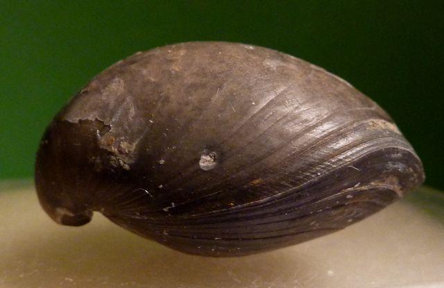 Cheirothyris fleuriausa