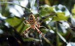 ARAIGNÉES (arachnides) : rencontres diverses dans les herbes.