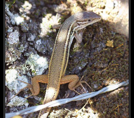 Les sierras sont aussi des terres importantes pour les reptiles. Ici un psammodrome algire.
