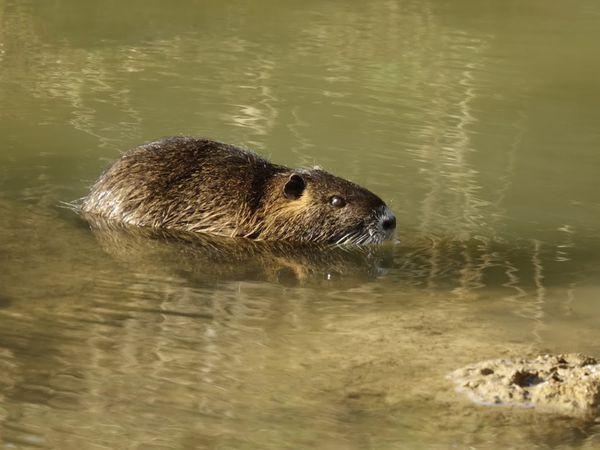 Le ragondin vit dans les milieux d'eau douce, comme les fleuves, les rivières, les marais, les étangs, les canaux, les fossés humides. Il habite dans un terrier, qu'il creuse le long des berges… Photos : JLS (Cliquez pour agrandir)