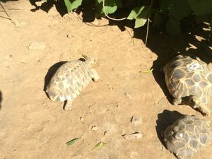 LES TORTUES STAR ou TORTUES ETOILEES