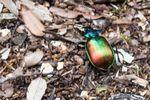 Gros scarabée vert et doré