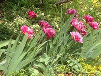 Diverse tulipes