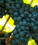 #Red Sangiovese Producers Illinois Vineyards