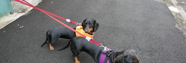 Melba de la croix du domaine du Thuis et Lilly rose Teckels standard poils ras, en promenade.