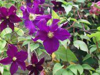 Les roses du parc de Bagatelle