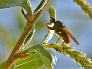 Insectes printaniers de notre jardin