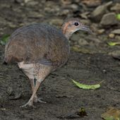 LE GRAND TINAMOU (Tinamus major) - Le blog de Alex.bowhunter