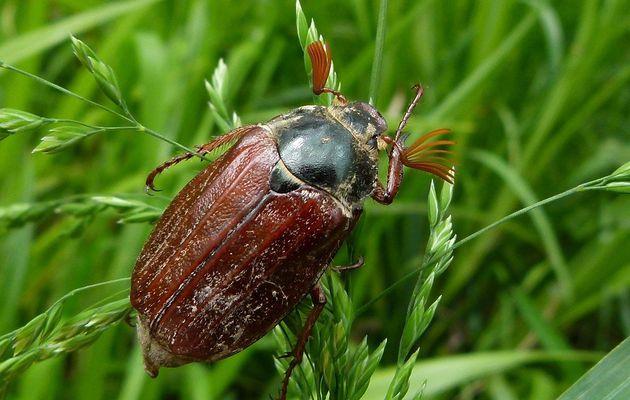 Le Hanneton commun, Melolontha melolontha : un insecte en régression ?