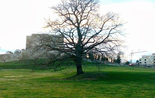 Chêne de Montrond