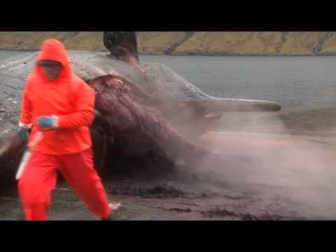 VIDEO - explosion d'une baleine échouée aux îles Féroé