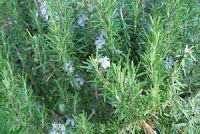 Olio essenziale di rosmarino, utilizzo e proprietà