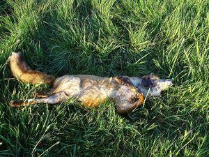 Une chevrette et un renard tirés, découverts en ce lundi matin : Moi qui, naïvement, pensais que les chasseurs étaient, comme nous, confinés… Photos : JLS (Cliquez pour agrandir)