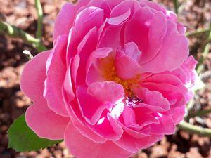 Le coeur et sa Rose...