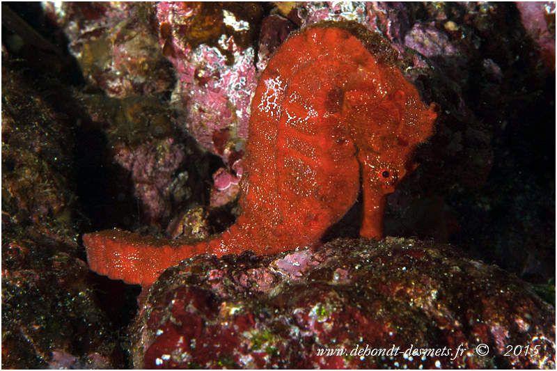 L'hippocampe géant du Pacifique est la plus grande espèce d'hippocampe du monde. Il peut atteindre 35 cm