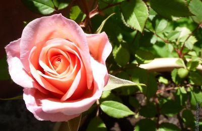 Un bouquet de rose...